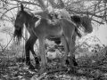 44-Bajo la sombra de un árbol descansa dos animales, mientras una madre da el pecho a su hijo. Guazapa 1987